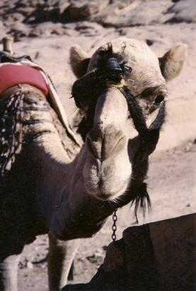 Sinai 9c Camel 3 color
